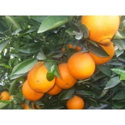 Naranja del Ebro ECO de 1a Calidad
