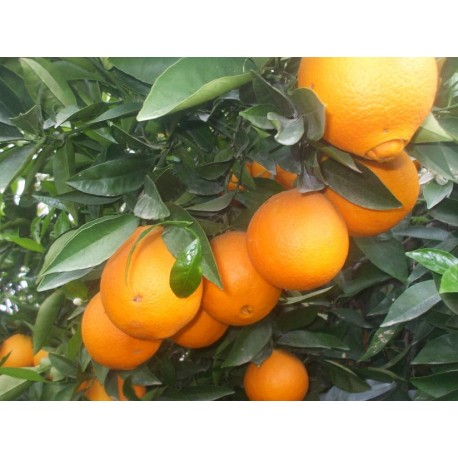 Taronja de l'Ebre de 1a Qualitat