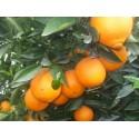 Comprar Taronja ECOLÒGICA de l'Ebre de 1a qualitat